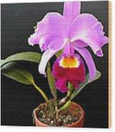 Spotlight On Purple Potted Cattleya Orchid Wood Print