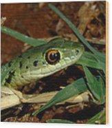 Spotted Bush Snake Philothamnus Semivariegatus Wood Print