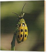 Spotted Cucumber Beetle Wood Print