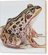 Spotted Dart Frog Wood Print by Lanjee Chee