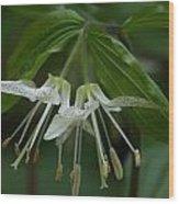 Spotted Mandrin . Disporum Maculatum Wood Print