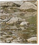 Spotted Sandpiper Pictures 36 Wood Print