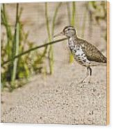 Spotted Sandpiper Pictures 45 Wood Print
