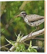 Spotted Sandpiper Pictures 48 Wood Print