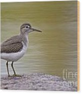 Spotted Sandpiper Pictures 51 Wood Print