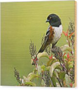 Spotted Towhee Wood Print