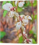 Spotted Wintergreen On Horseshoe Lake Trail In Denali Np-ak - Wood Print
