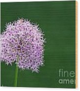 Spring Allium Wood Print