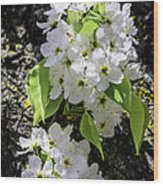 Spring Apple Blossoms Wood Print