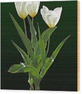 Spring - Backlit White Tulips Wood Print