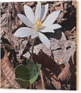 Spring Bloodroot Wildflower 2 Wood Print