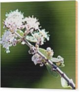 Spring Blossoms White 031015aa Wood Print
