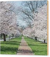 Spring Cherry Trees Wood Print