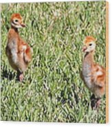 Spring Chicks  Wood Print