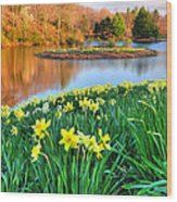 Spring Daffodils At Laurel Ridge-connecticut  Wood Print