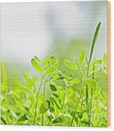 Spring Green Sprouts Wood Print by Elena Elisseeva