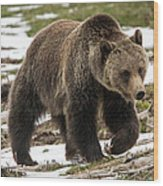 Spring Grizzly Bear Wood Print