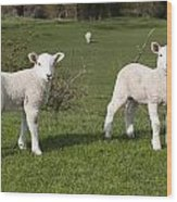 Spring Lambs Wood Print