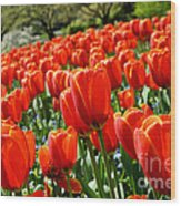 Spring Time Tulips 3 Wood Print