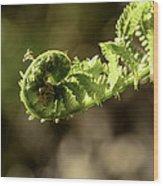 Spring Unfurled Fiddlehead Wood Print