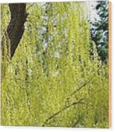 Spring Weeping Willow Wood Print