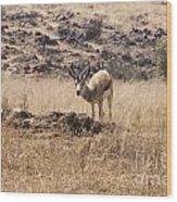 Springbok Wood Print