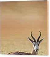 Springbok Resting On Green Desert Grass Wood Print