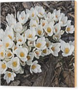 Springtime Abundance - A Bouquet Of Pure White Crocuses Wood Print