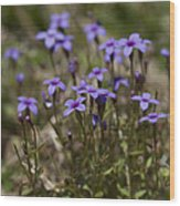 Springtime Tiny Bluet Wildflowers - Houstonia Pusilla Wood Print