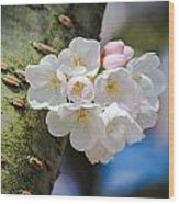 Sprouting Cherry Blossoms Wood Print
