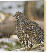Spruce Grouse In The Snow Wood Print
