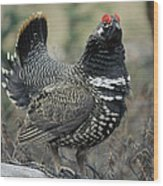 Spruce Grouse Male Courting Alaska Wood Print