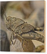 Spur-throated Grasshopper Wood Print