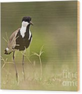 Spur-winged Lapwing Wood Print