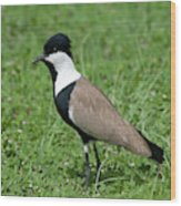 Spur-winged Plover Wood Print