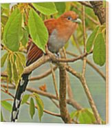 Squirrel Cuckoo In Costa Rica Wood Print