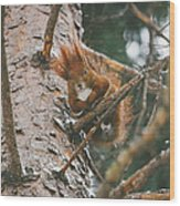 Squirrel In A Tree Wood Print