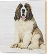 St Bernard Dog Wood Print