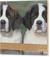 St. Bernard Puppies Wood Print