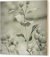 St. John's Wort - Dreamers Garden Series Wood Print