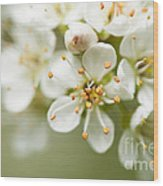 St Lucie Cherry Blossom Wood Print