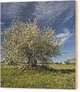 St Lucie Cherry (prunus Mahaleb) Wood Print