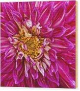 Standard Beautiful Dahlia Wood Print