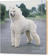 Standard Poodle Dog, Unclipped Wood Print