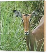 Standing In The Grass Impala Antelope  Wood Print