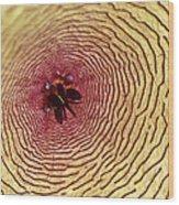 Stapelia Grandiflora - Close Up Wood Print