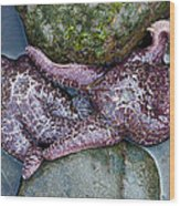 Starfish Crowded Between Rocks Wood Print by Sarah Crites