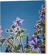 Starflower Borago Officinalis Wood Print