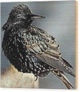 Starling Colors Wood Print