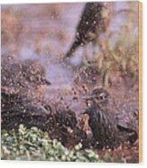 Starlings Fight Wood Print